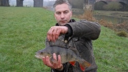 Great looking Perch from Sturminster and Hinton Angling Association Fishery