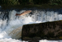 Leaping Salmon Arundell Arms